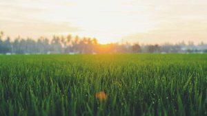 reener Grass